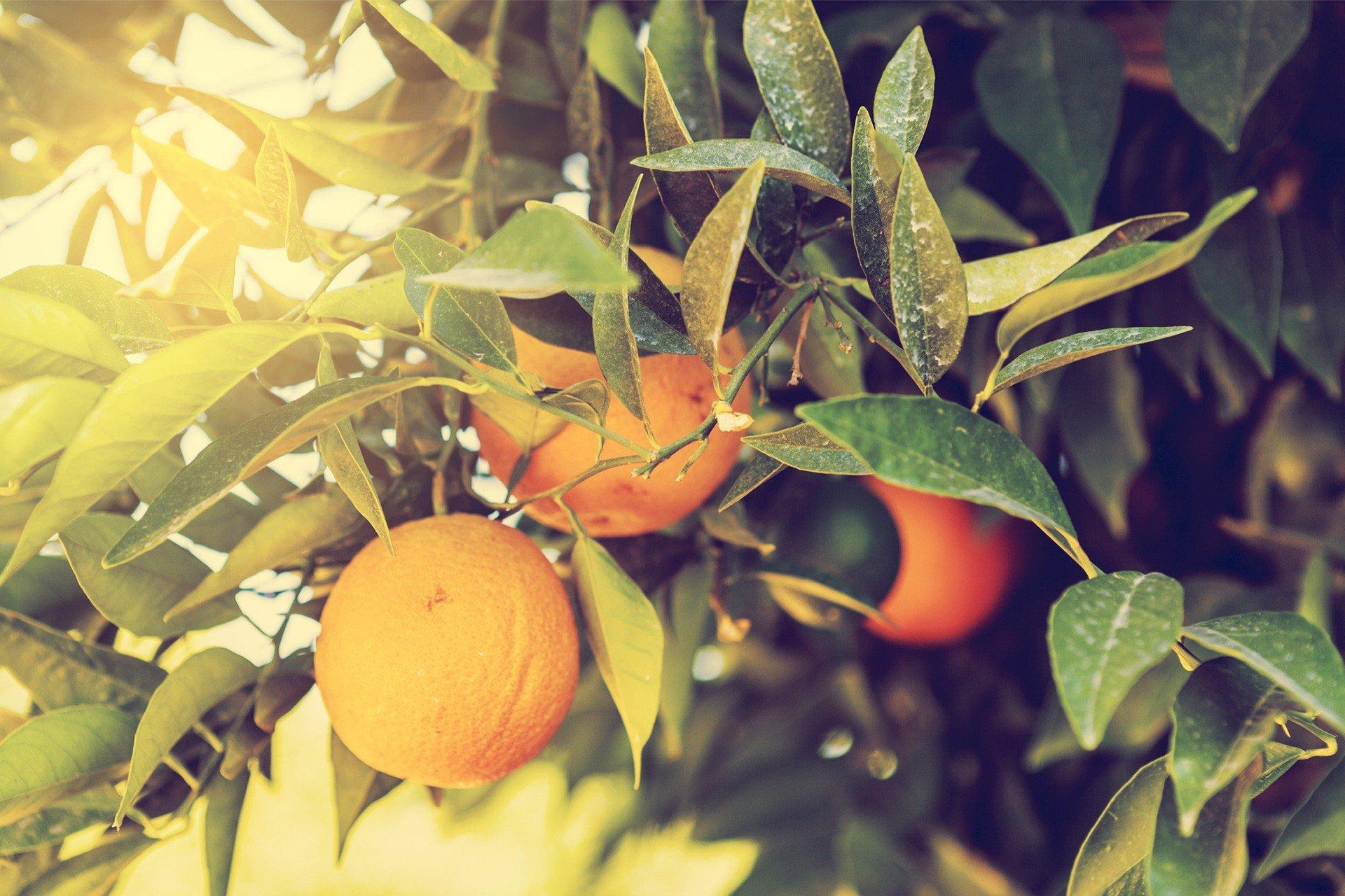 Citrus fruit growing in a tree